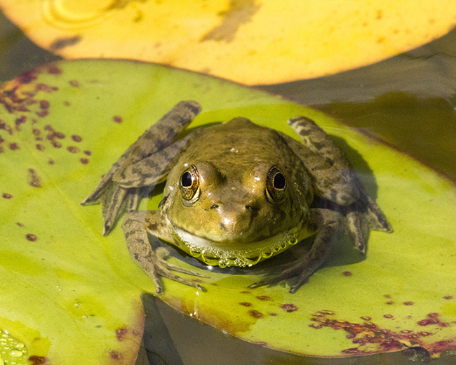 Frog On Lily, Photograph Printing, Concord, VA