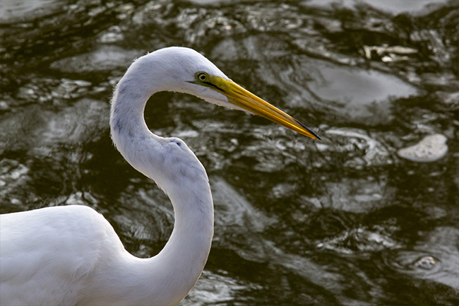 Egret, Commissioned Photography, Concord, VA